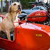 Dog_and_ural