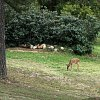 Backyard_deer