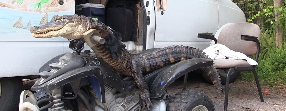 Video: Florida woman fights to keep motorcycle-riding pet alligator